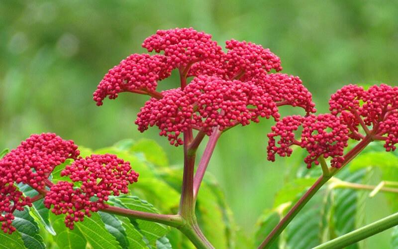 Các loại cây chữa bệnh xương khớp