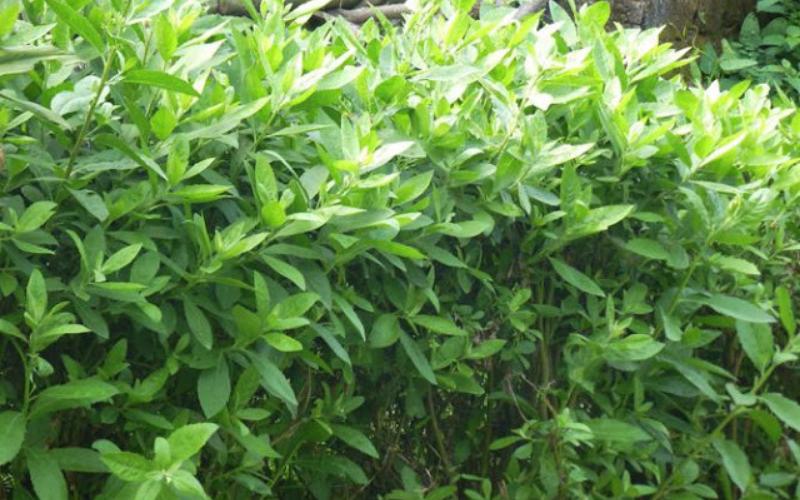 cây cúc tần điều trị bệnh trĩ