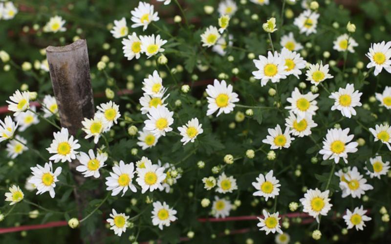cây hoa cúc công dụng và điều trị bệnh