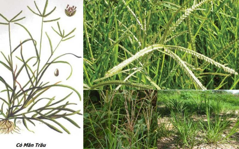 cỏ mần trầu điều trị bệnh hiệu quả
