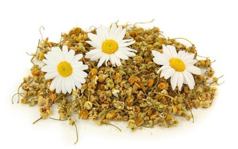 cây hoa cúc công dụng và điều trị bệnh 1