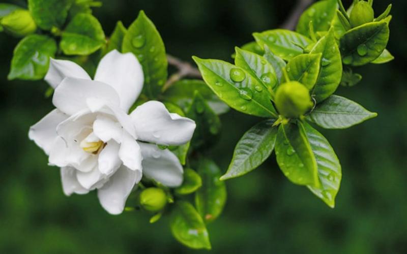 cây dành dành hiệu quả chữa bách bệnh